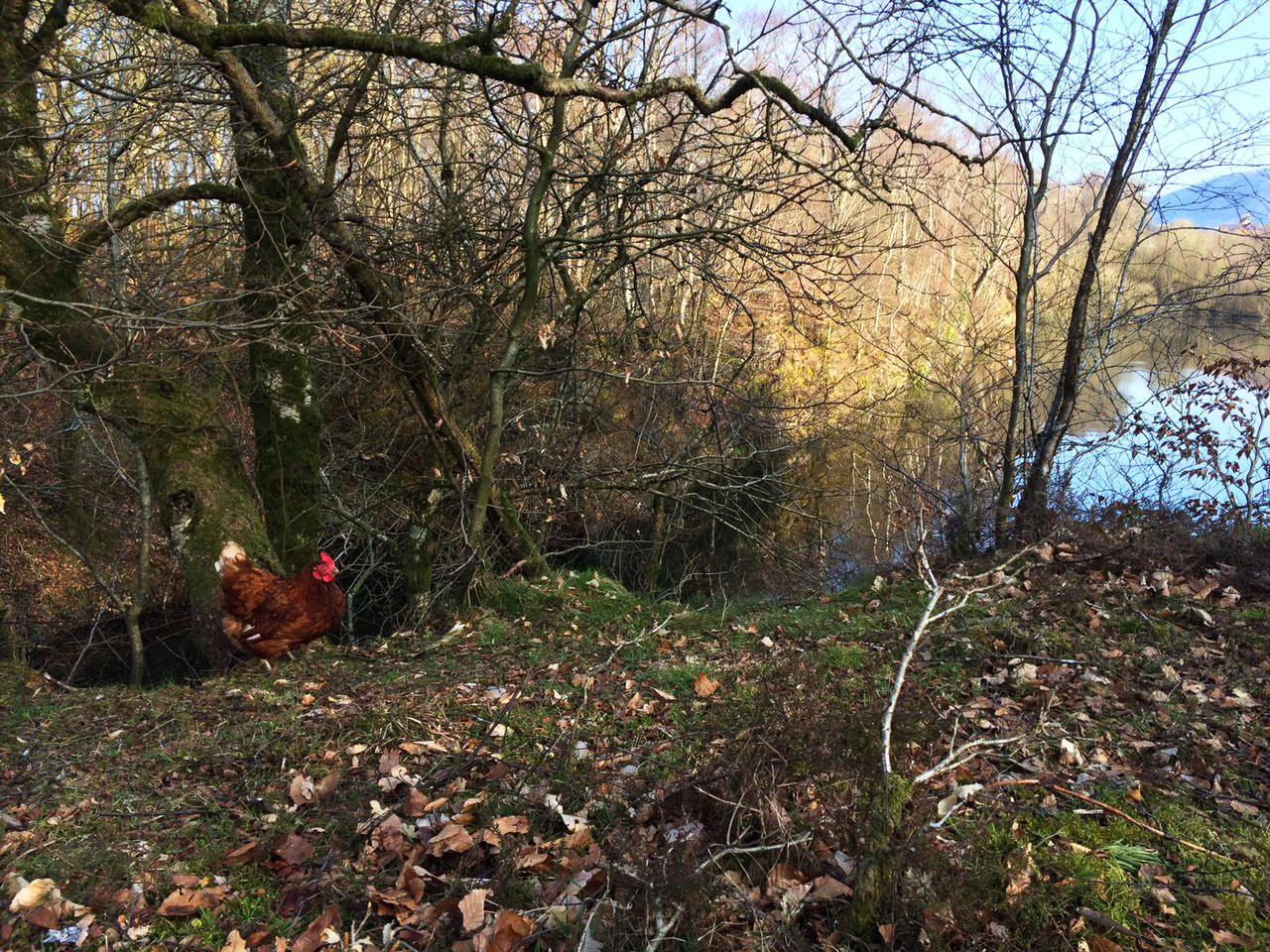 Woodland Free Range Hens