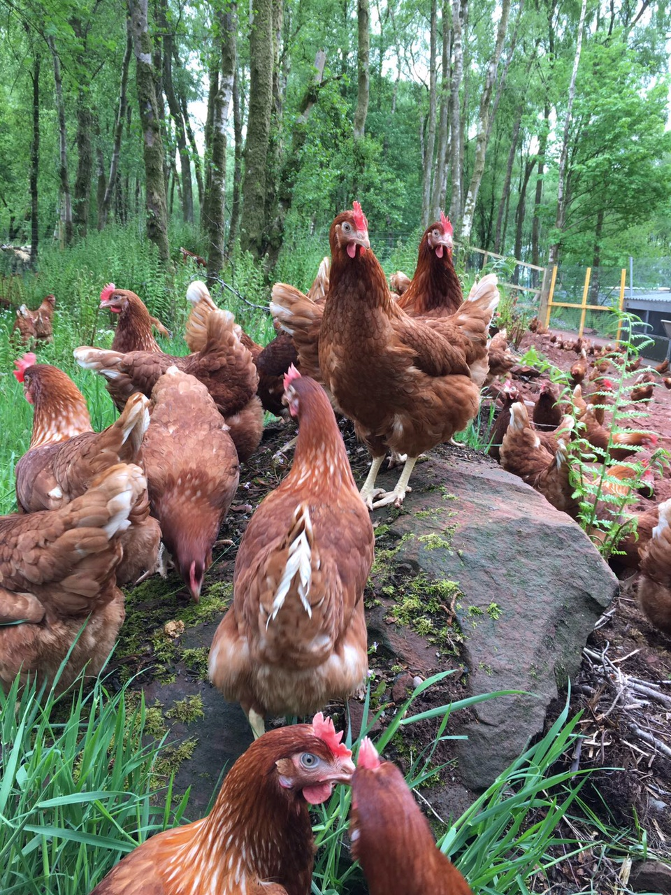 Woodland Chickens