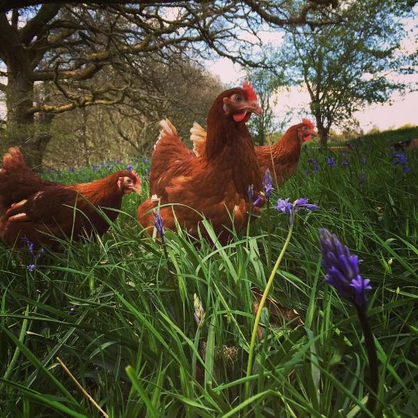 Woodland Free Range Eggs
