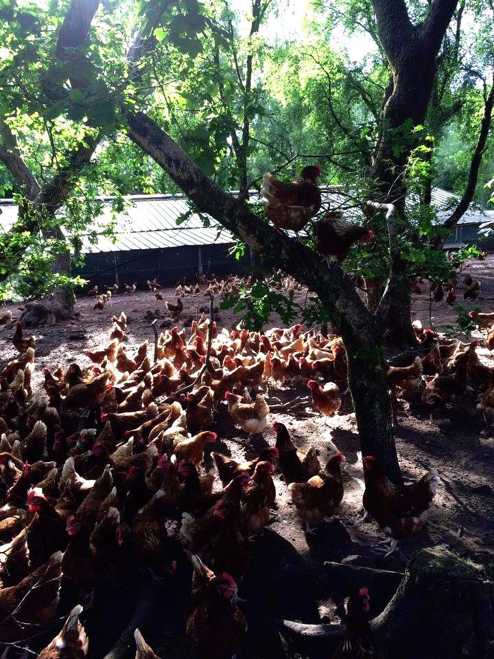 Woodland Hens