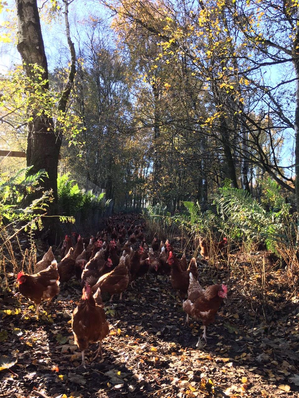 free range egg farming