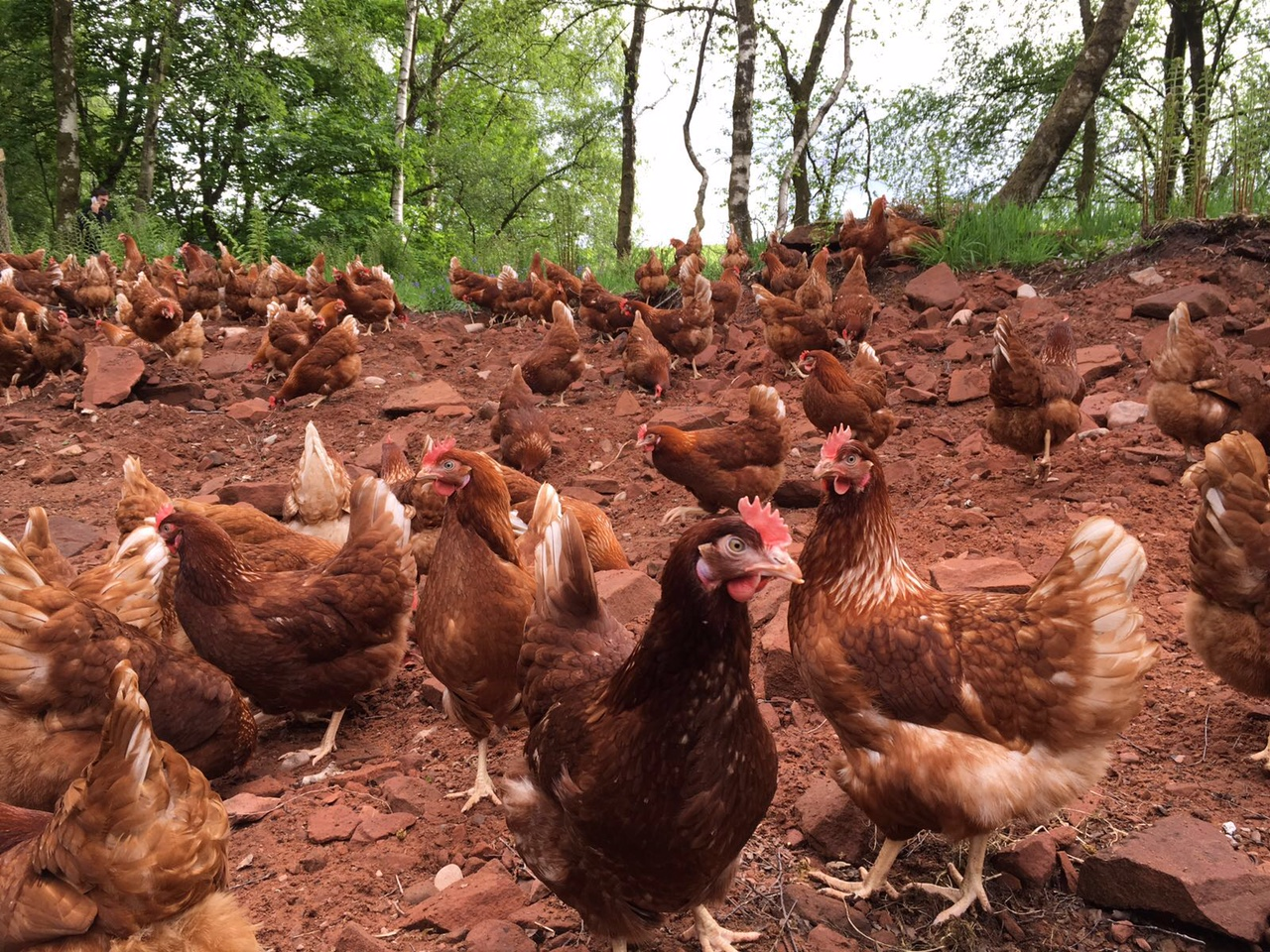 Why We Love Free Range Eggs – And Why You Should Too